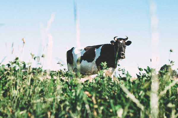 cow_in_field